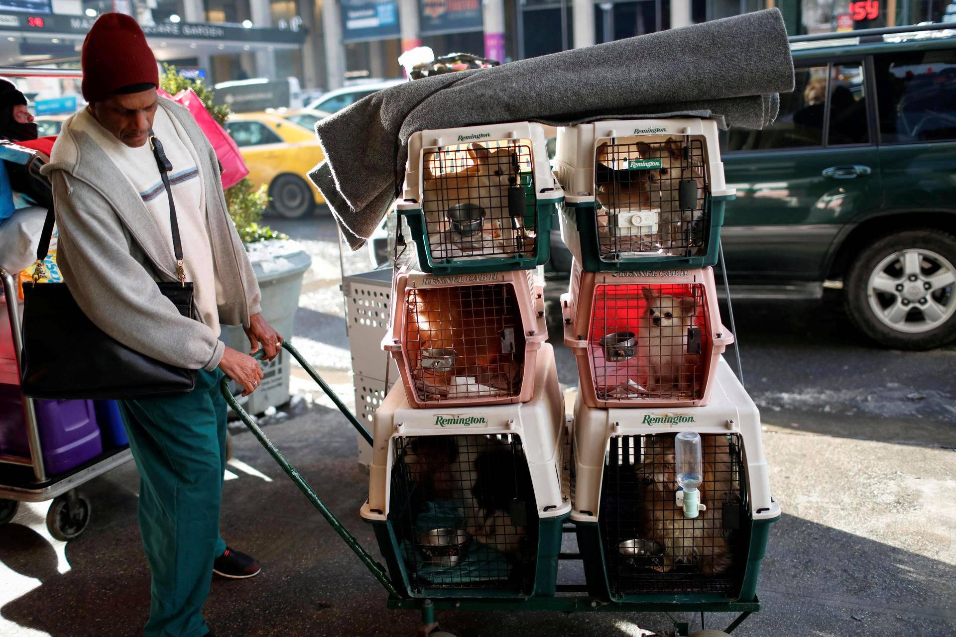 Koiria siirrettiin newyorkilaiseen hotelliin odottamaan siirtymistä Westminster Kennel Clubin koiranäyttelyyn.