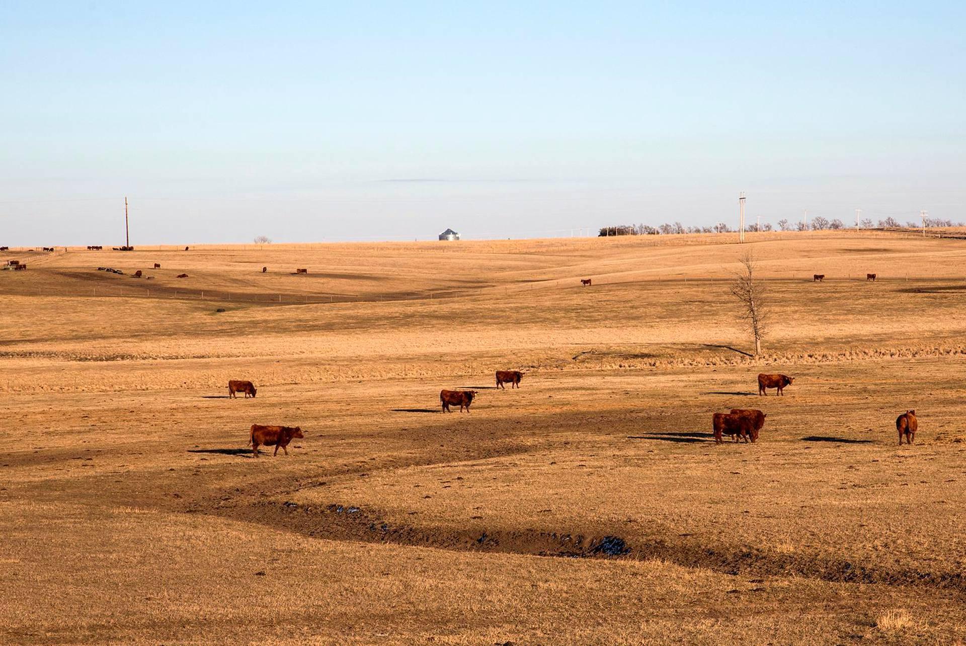 Punaista karjaa preerialla.