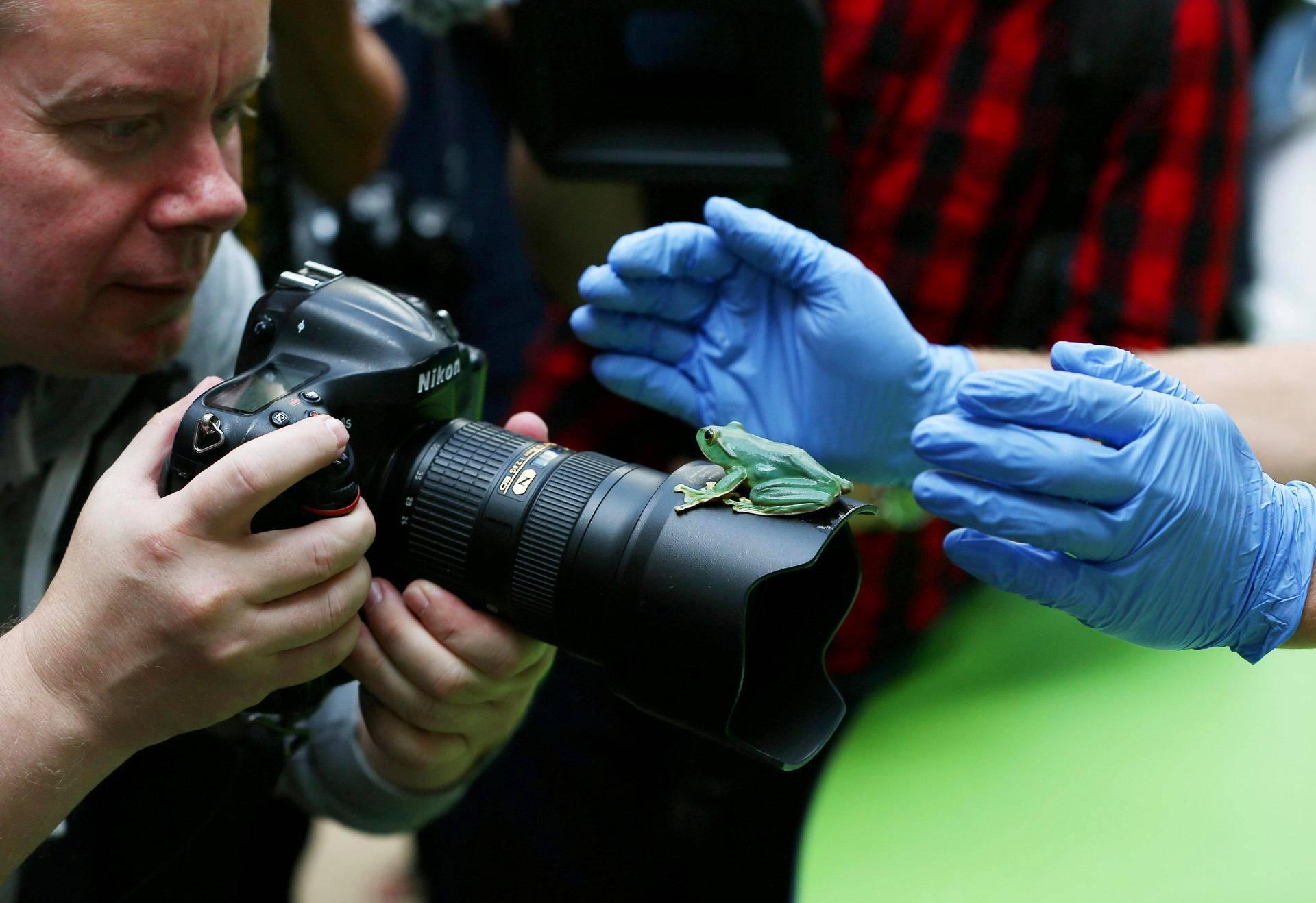 Sammakko istui valokuvaajan kameran objektiivilla vuosittaisen punnitsemispäivän lehdistötilaisuudessa Lontoon eläintarhassa.