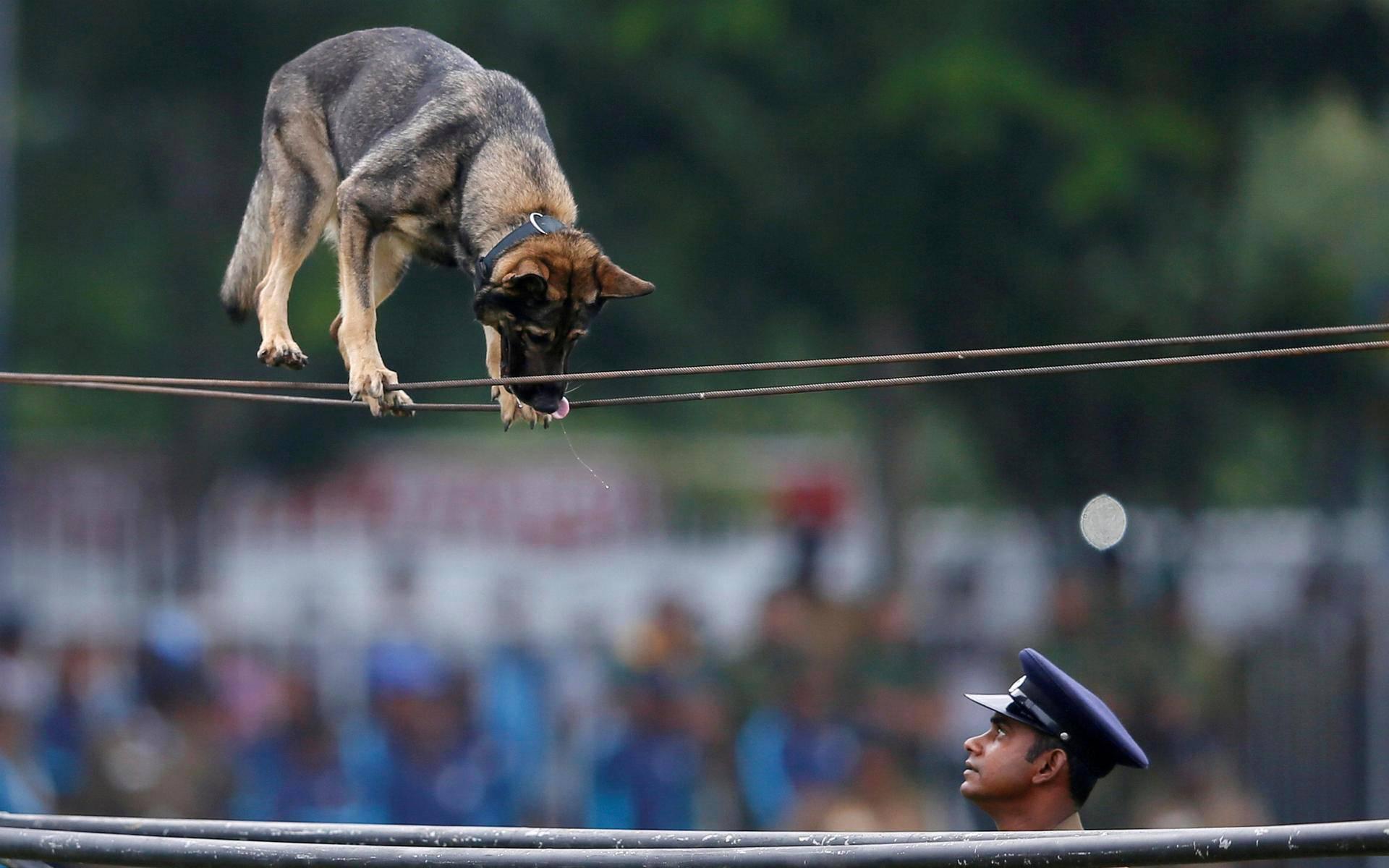 Srilankalainen poliisikoira esittelee nuorallakävelytaitojaan poliisien juhlanäytöksessä Colombossa torstaina.