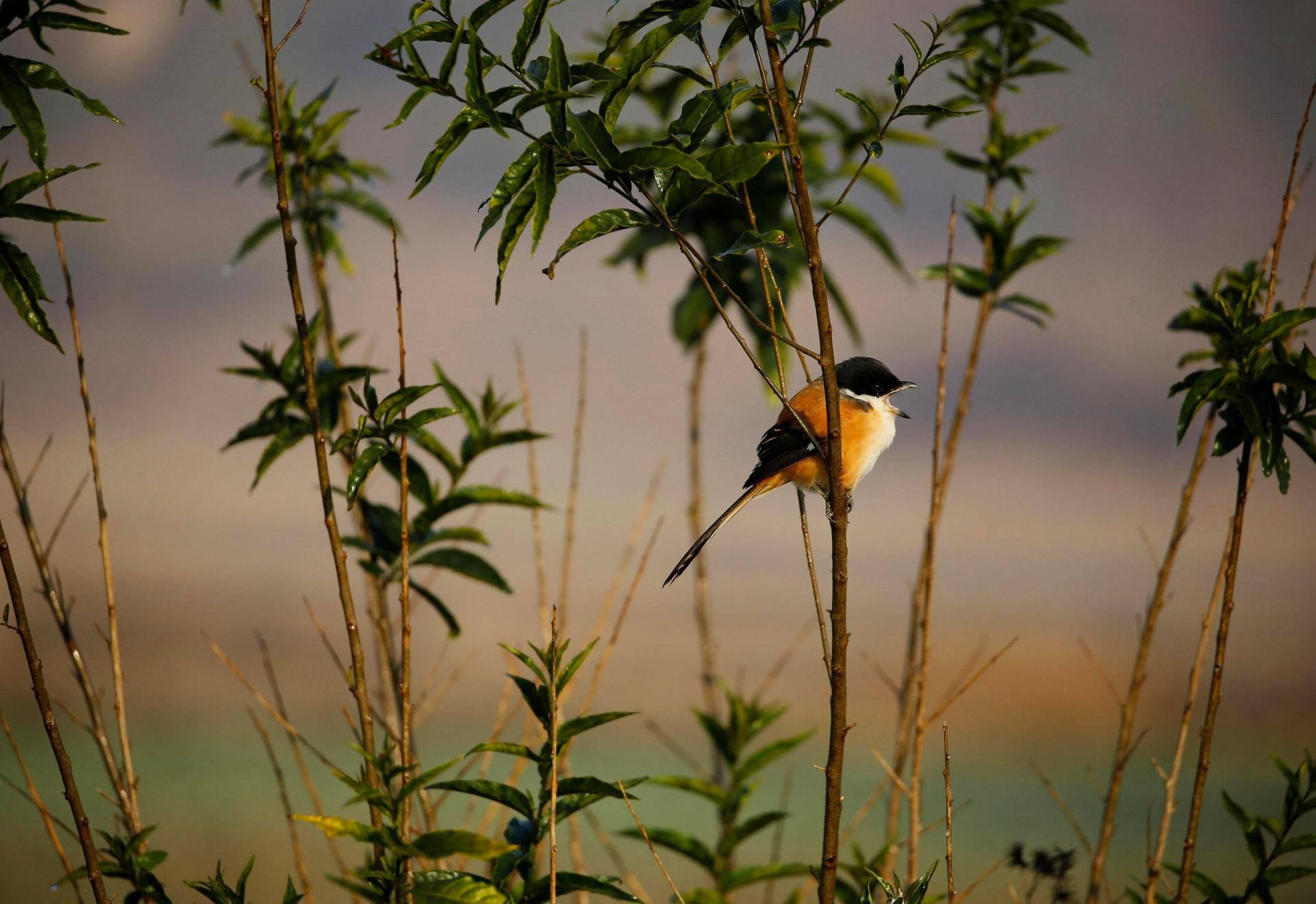 Lintu istui korrella pellon laidalla Nepalissa.