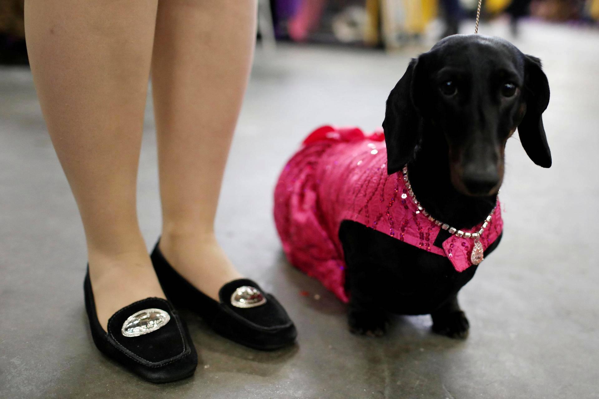 Diamond-niminen mäyräkoira osallistui Westminster Kennel Clubin näyttelyyn New Yorkissa.