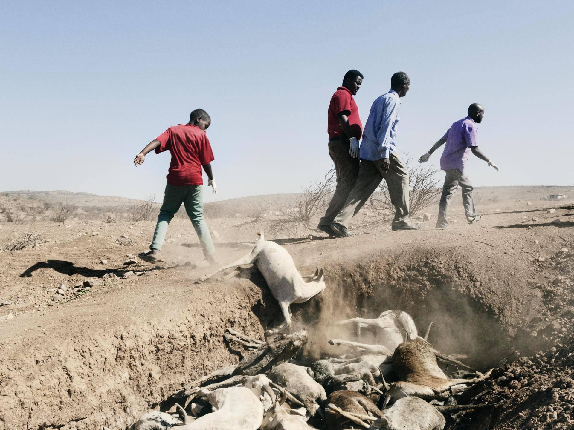 Somalimaa. Läntisessä Somalimaassa ei ole juuri satanut kolmeen vuoteen. Huhu sateista rannikolla sai sadat ihmiset liikkeelle myös Etiopiasta. Laitumia ei kuitenkaan löytynyt. Huonokuntoisille vuohille annettiin vettä, mutta ne kuolivat silti. Mohamoud Abdi (vas.) heitti vuohenraadon joukkohautaan.
