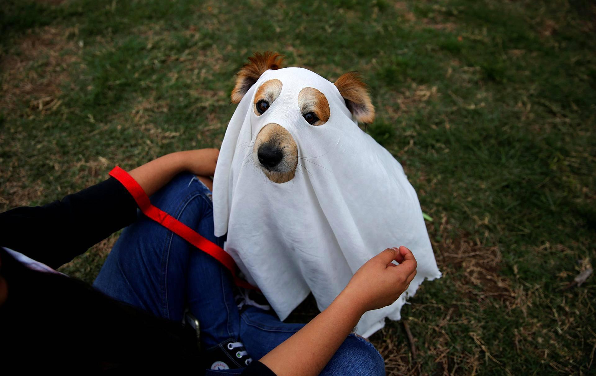 Koira puettiin kummitukseksi Perun pääkaupungissa Limassa.