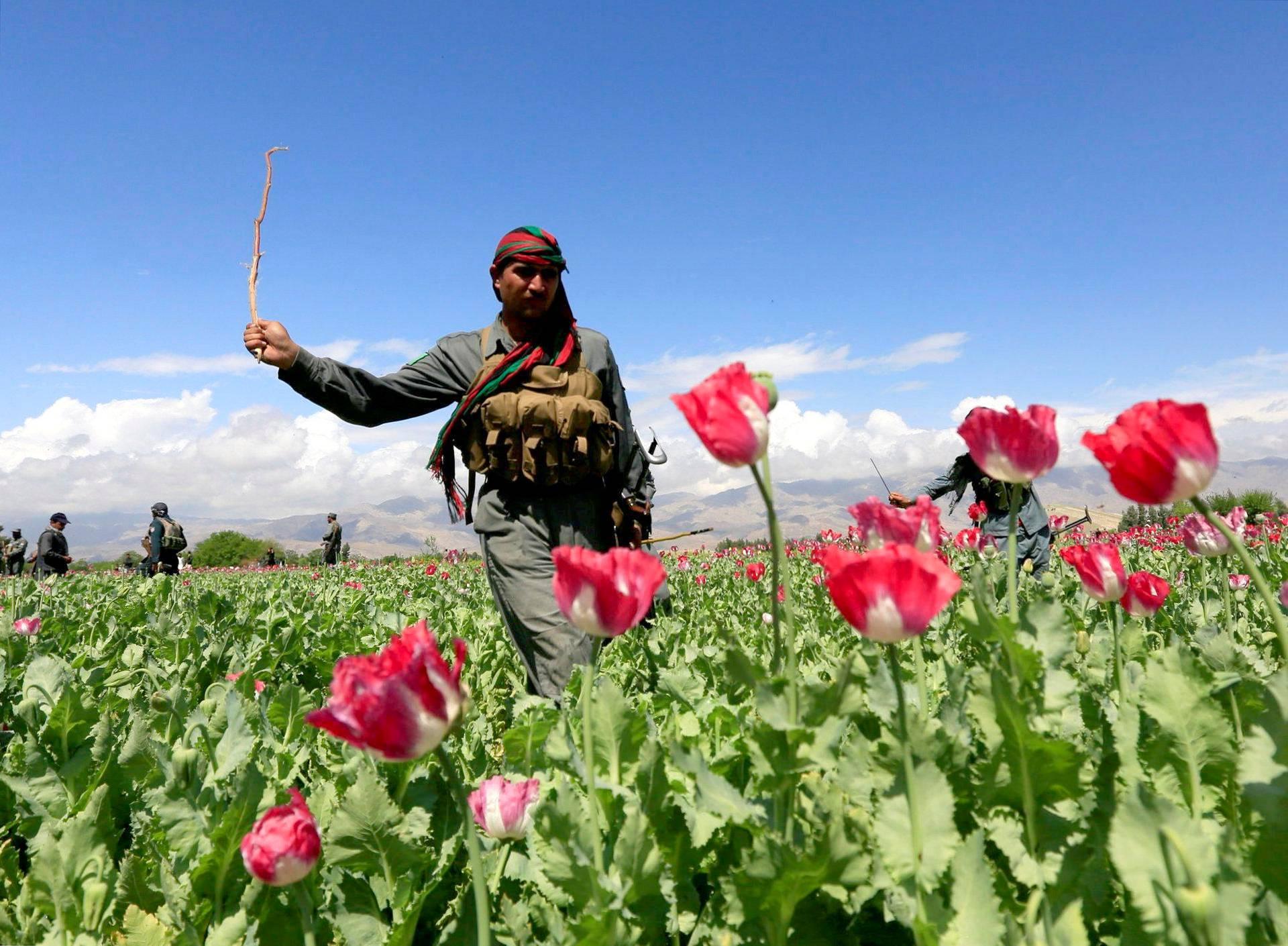 Afgaanipoliisi tuhoaa unikkopeltoa Jalalabadissa.