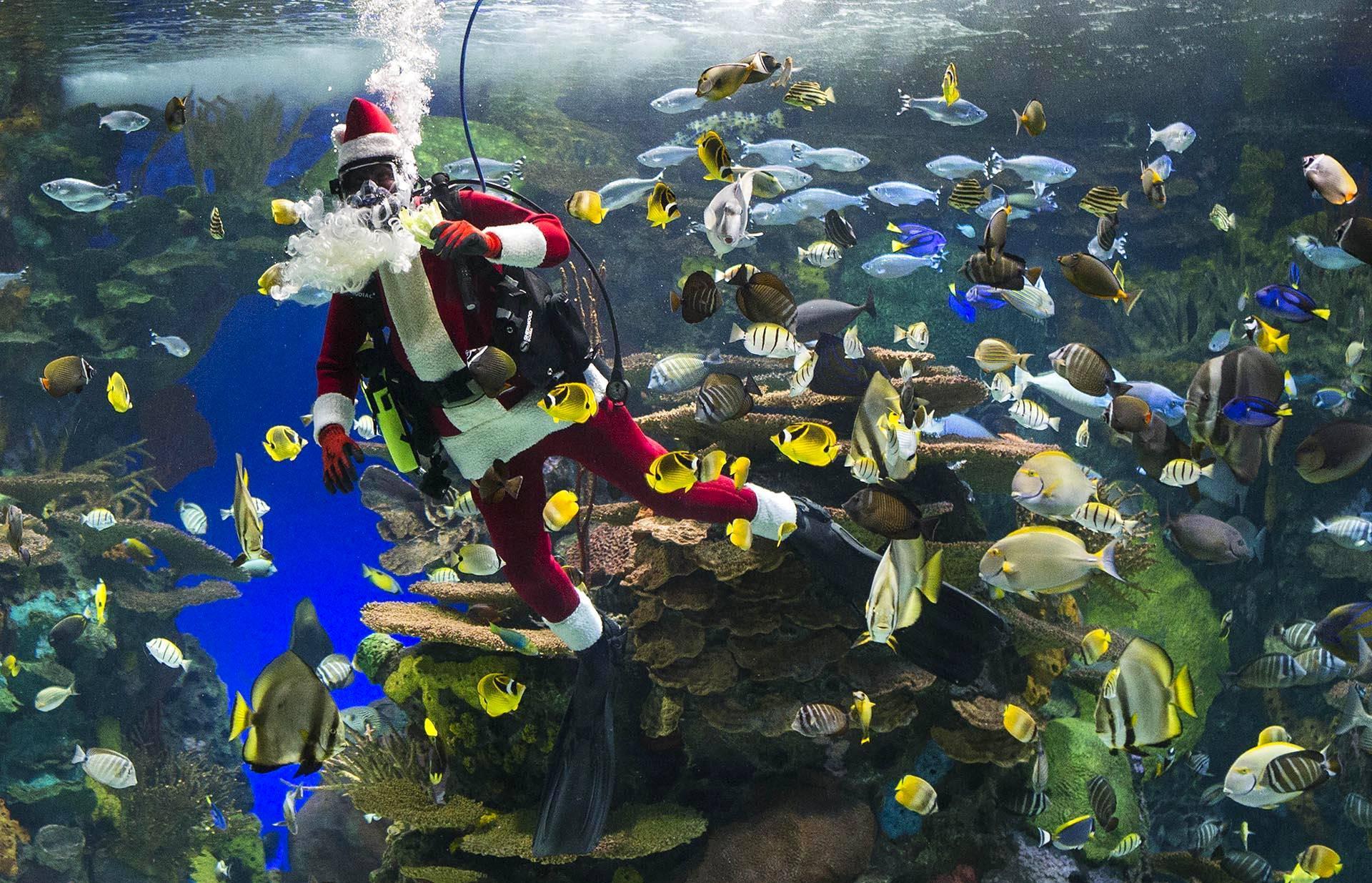 Joulupukki ui kalojen seassa jättiakvaariossa Torontossa Kanadassa.