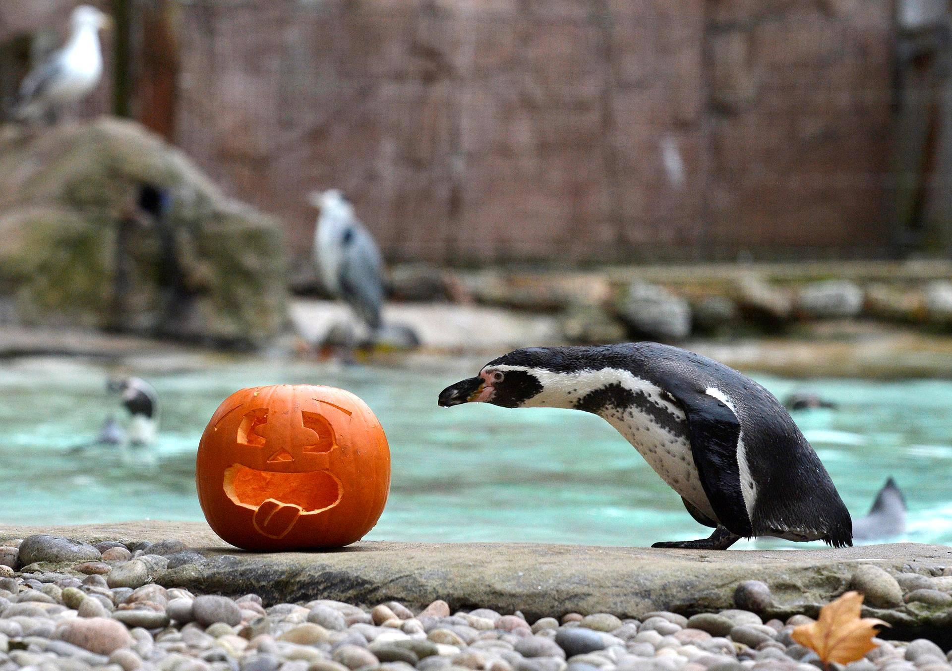 Perunpingviini tutki halloween-kurpitsaa Lontoon eläintarhassa.