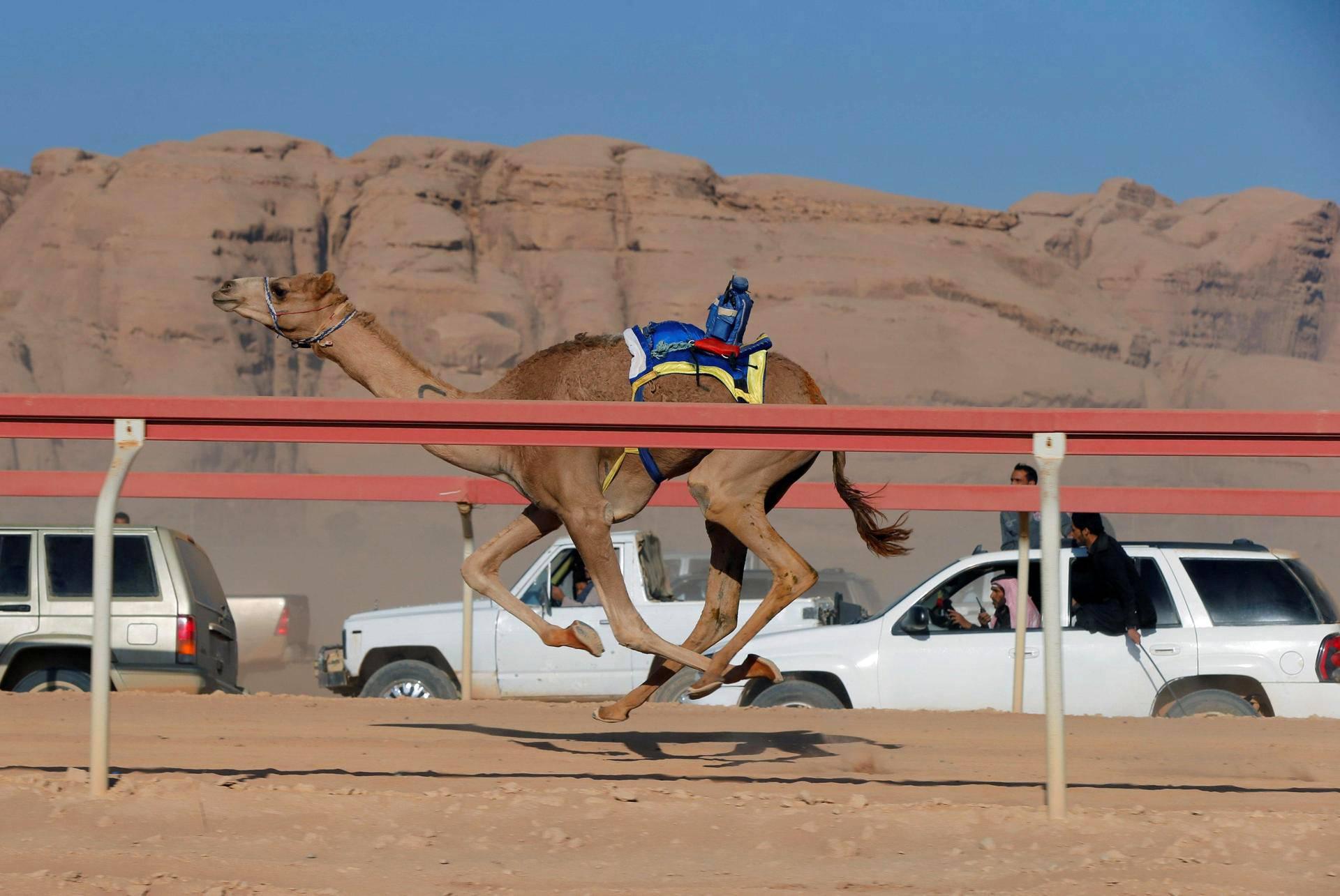 Kamelien omistajat ajoivat radan vierellä seuratessaan kameliraveja Wadi Rumissa Jordaniassa torstaina.