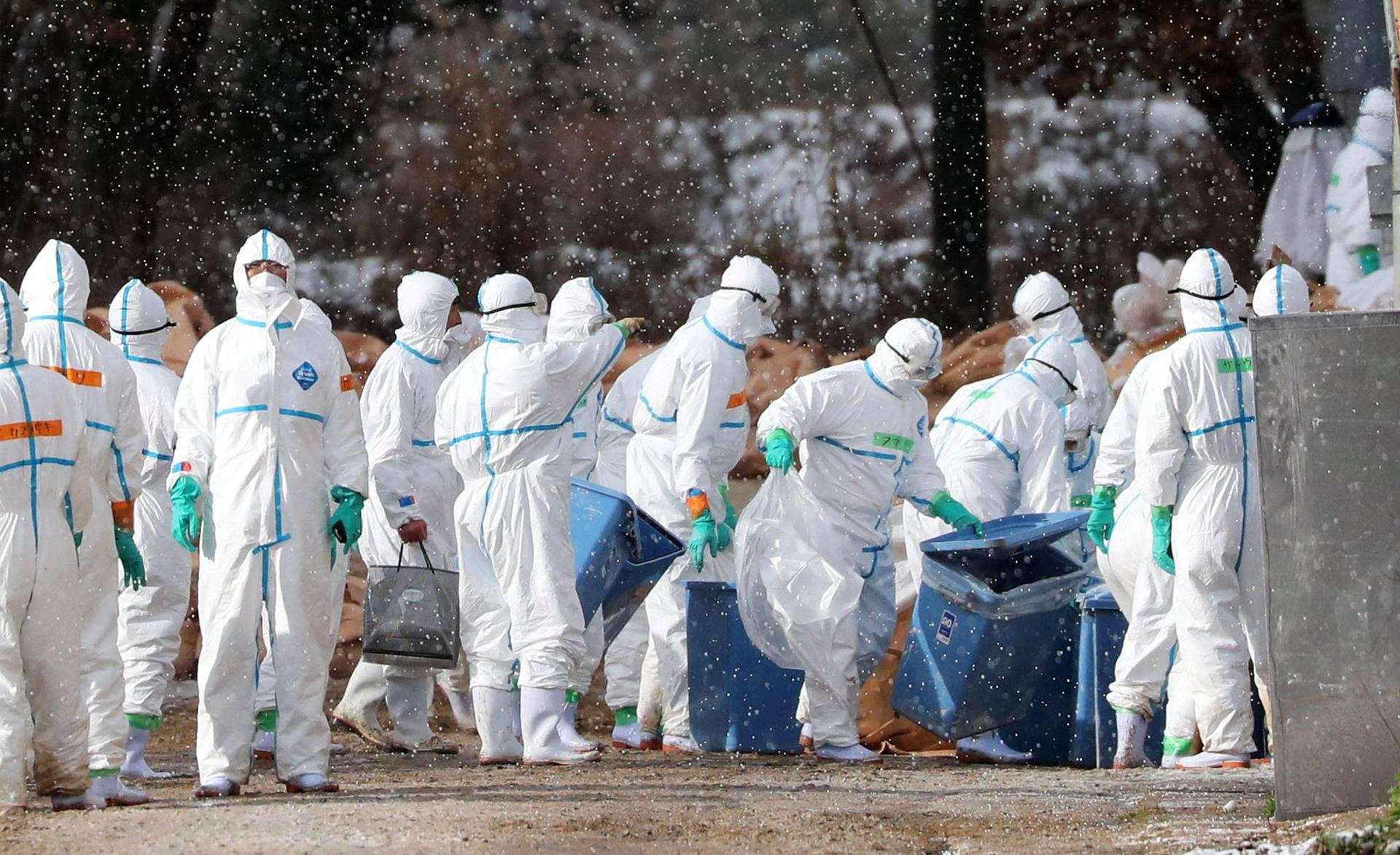 Suoja-asuihin pukeutuneet työntekijät desinfioivat ankkafarmia Aomorissa, Pohjois-Japanissa tiistaina. Farmilta oli löytynyt lintuinfluenssaan sairastuneita ankkoja.