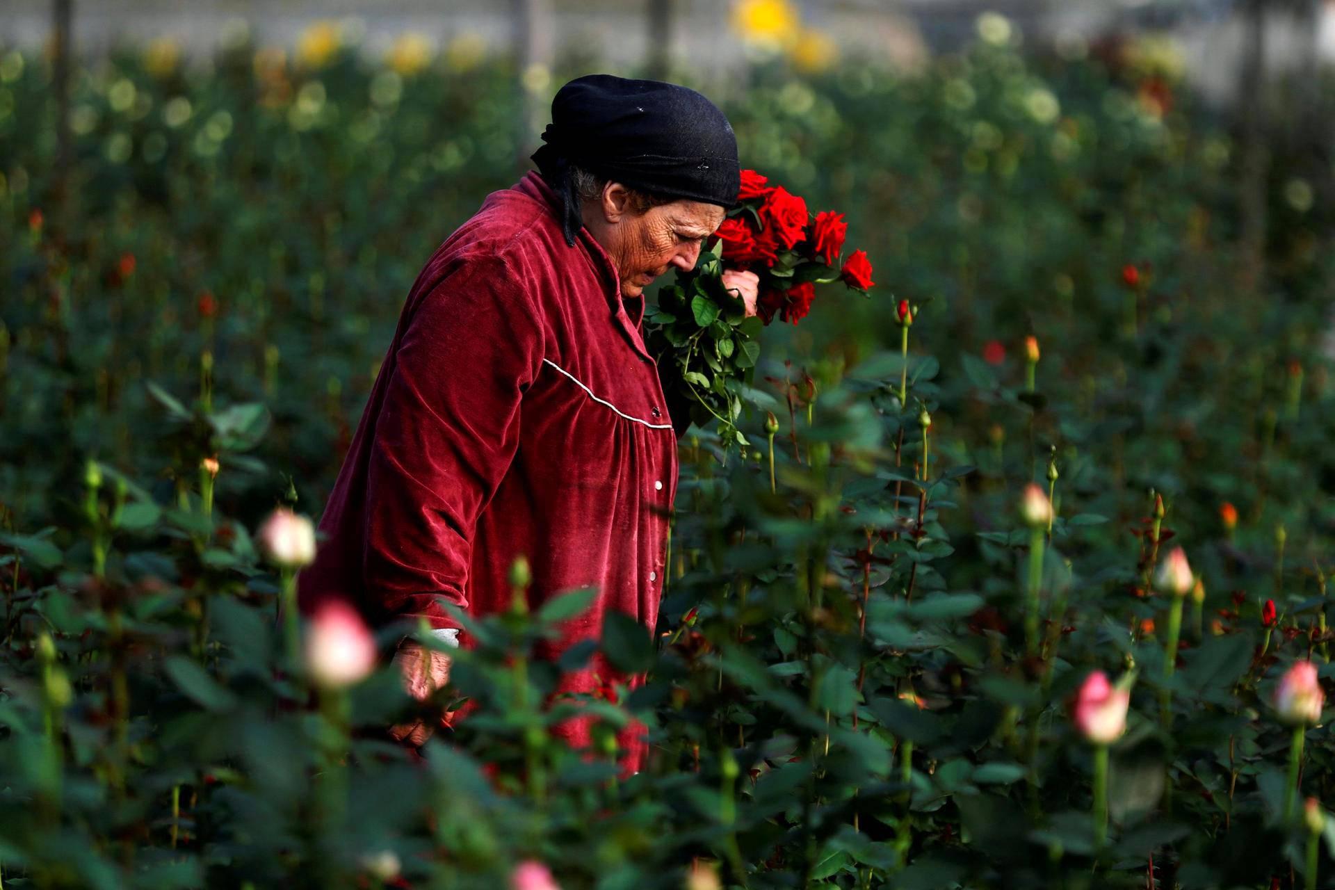 Nainen poimi ruusuja ystävänpäivän markkinoille Moshav Berekhyassa Israelissa.