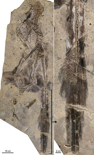 125 miljoonaa vuotta sitten elänyt Changyuraptor fossiiliksi kivettyneenä.
