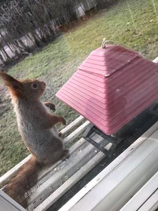 Ikkunalaudalla usein käyvä vieras ilahduttaa karanteenissa.