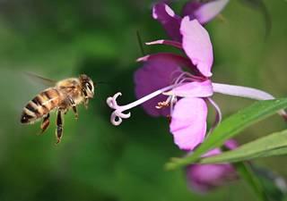 Mehiläinen maitohorsman kukalla.