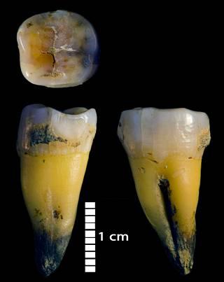 Bacho Kiron luolasta Bulgariassa löytynyt 45 000 vuotta vanha miehelle kuulunut poskihammas.