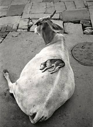 """Varanasi, Intia 1999: """"Kylmänä yönä koiranpentu löysi lehmästä valtavan lämpimän tyynyn. Yhteiseloa."""""""