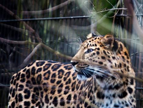 Urosleopardi Tomas tuli levottomaksi haistaessaan tulokkaan.