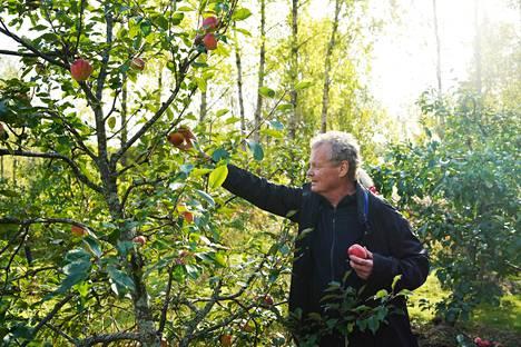 Harri Ahola poimii kotitilansa omenoita Vihdissä. Tarhassa on 50 omenalajiketta.
