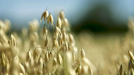 Kauraa kasvamassa Haltialan pelloilla. Arkistokuva.