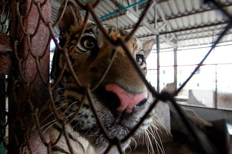 Poliisi takavarikoi viime syyskuussa tiikerin, jota thaimaalaismies oli pitänyt häkissä  kerrostalon asunnossa Bangkokin esikaupunkialueella. Thaimaalaismies astutti tiikereitä laittomaan myyntiin.