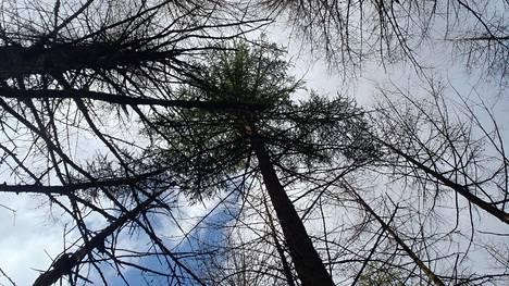 Yksi japaninlehtikuusi on selvinnyt versopoltteen iskusta Skotlannin lounaisosassa sijaitsevassa metsikössä.