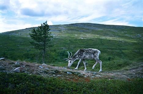 Hirven näivetystauti uhkaa nyt norjalaisia tunturipeuroja. Poro on tunturipeuran puolikesy muoto.