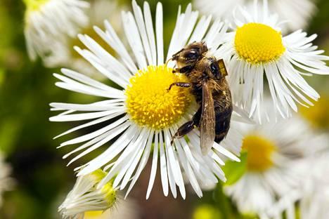 Mehiläinen on ihmisille tärkeä hunajan tuottajana, mutta vielä tärkeämpi kasvien pölyttäjänä.