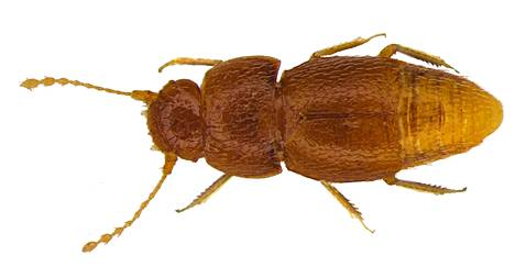 Nelliptodes gretae on alle millimetrin pituinen kovakuoriainen.