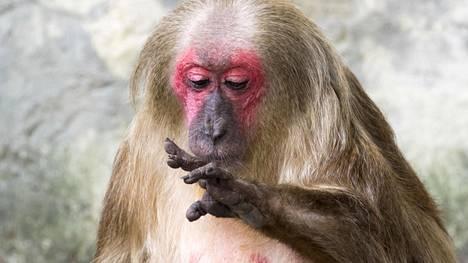 Useimmat apinat kaivelevat nenäänsä, luultavasti myös tämä karhumakaki.