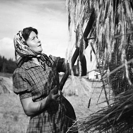 Salminen heinätöissä kotitilallaan Vårdössa Ahvenanmaalla 1930-luvun alussa.