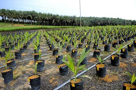 Taimien kasvatusta IOI Grupin palmuviljelmällä Kluagin kaupungissa Malesiassa maaliskuussa 2011.