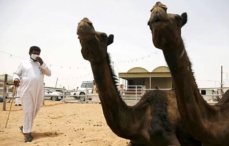 Saudi Arabia suositteli ihmisiä käyttämään hanskoja ja kasvomaskeja kameleiden lähellä.