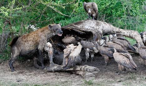 Hyeena korppikotkien kanssa kirahvin haaskalla Krugerin kansallispuistossa Etelä-Afrikassa. Hyeena ei maista makeaa.