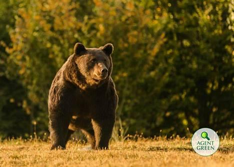 Romanialaiset puistonvartijat ja eläinaktivistit seurasivat Arthur-karhun elämää tarkasti.