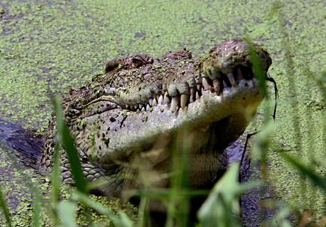 Krokotiileja on Australiassa erityisesti pohjoisosissa sijaitsevassa Kakadu-luonnonpuistossa. Tämä yksilö on kuvattu krokotiilifarmilla lähellä Darwinia.