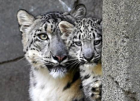 Kolmikuukautinen lumileopardin pentu ja sen emo Sarani Brookfieldin eläintarhassa Illinoisissa viikko sitten keskiviikkona.