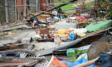 Koira ja ankka myrskyn riepottelemien tavaroiden keskellä Alcalan kaupungissa Filippiineillä lauantaina.