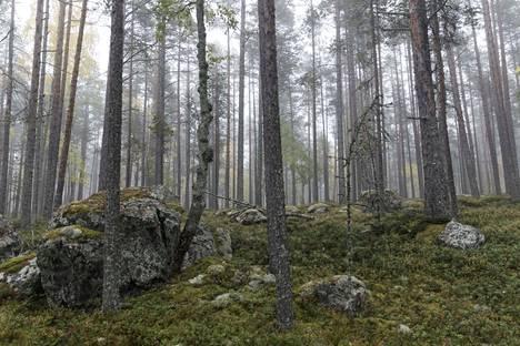 Oulujärvellä sijaitsevan Kaarresalon saaren metsää syksyllä 2017.
