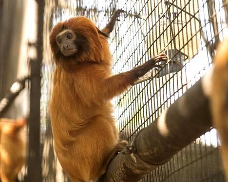 Kultaleijona-apina (Leontopithecus rosalia) pitelee häkistään Santa Anan eläintarhassa Kaliforniassa.