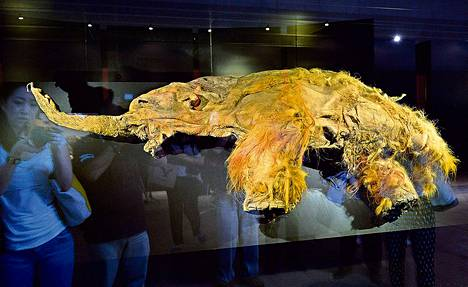 """Siperiasta löytynyt 39<span class=""""nbsp"""">&nbsp;</span>000 vuotta vanha naarasvillamammutti oli näytteillä tokiolaisessa museossa heinäkuussa."""