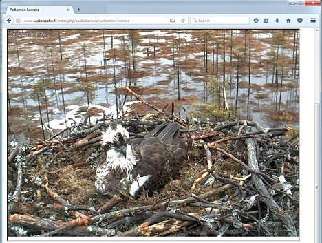 Kuvakaappaus Sääksisäätiön livekamerasta Paltamosta. Pesässä on tällä hetkellä kaksi munaa.