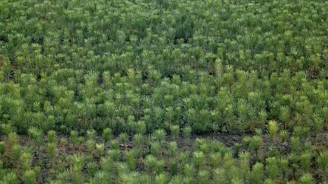 Yhdelle hehtaarille saatetaan istuttaa jopa yli 2000 puuntaimea.