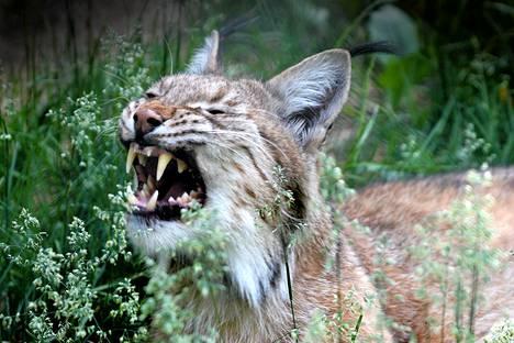 Maa- ja metsätalousministeriö haluaa lisätä ilveksen pyyntilupia roimasti.