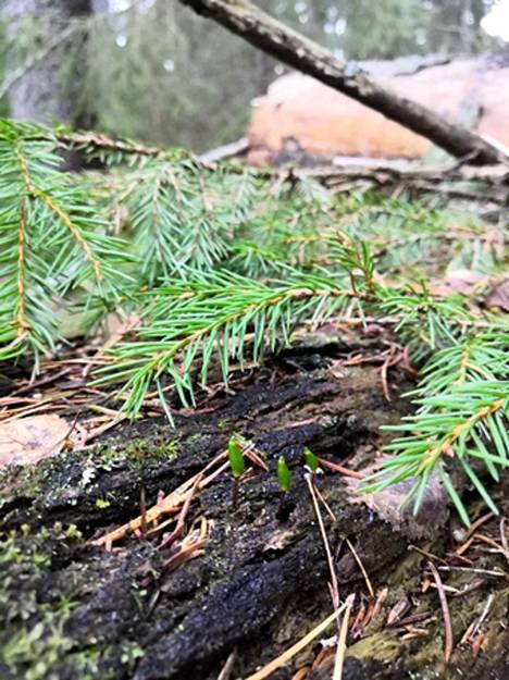 Lahokaviosammalen tunnistaa helpoimmin sen itiöemistä, joita näkee syksyisin lahoavien puiden rungoilla.