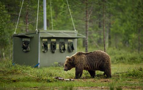 Karhu voisi käydä haaskalla myös Temptation Island Suomessa.