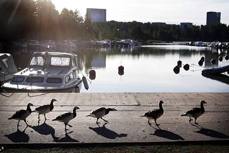 Tapiolan Otsolahdesta on lähetetty kuolleita lintuja Eviralle.