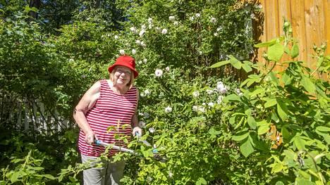 Merva Mikkolaa kiehtoo  ruusuissa niiden historia. Eri lajeja  on ainakin 130, hän laskeskelee.