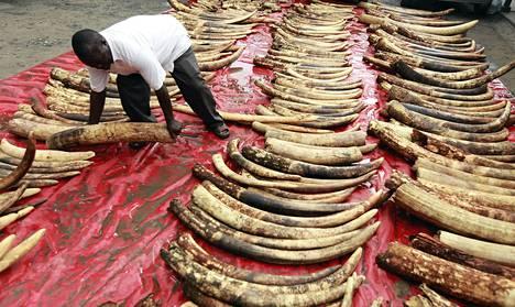 Poliisi asetteli norsujen syöksyhampaita tutkittavaksi Makupan poliisiasemalla Mombasassa Keniassa 5. kesäkuuta.
