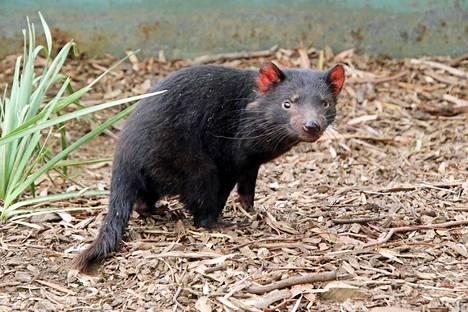 Pussiahma eli pussipiru eli tasmanian tuholainen elää luonnonvaraisena vain Tasmaniassa.