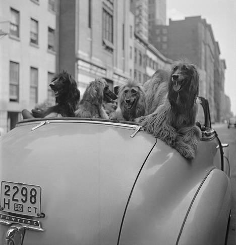 """""""Koiran elämää suurkaupungissa"""", julkaistu: 8.11.1949.New Yorkin 291 018 rekisteröidystä koirasta kertova artikkeli ylisti kaupungin ainutlaatuista outoutta, mikä oli tyypillistä Lookin kaupunkiartikkeleille."""