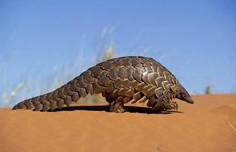 Muurahaiskäpy kansallispuistossa Etelä-Afrikan Kalaharissa.